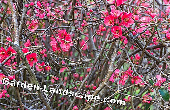 Ornamental quince - plants, cut & multiply