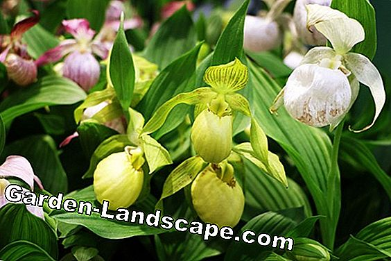 Orkide Bayan Terlik Cypripedium Phragmipedium