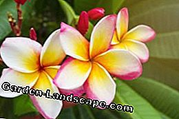 Frangipani recognize and combat diseases and pests