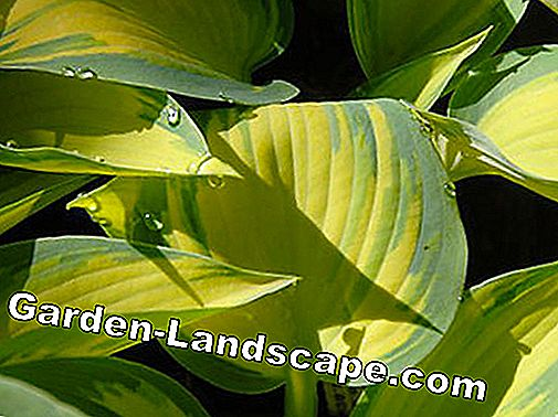 Funkie Hosta Hybrid June