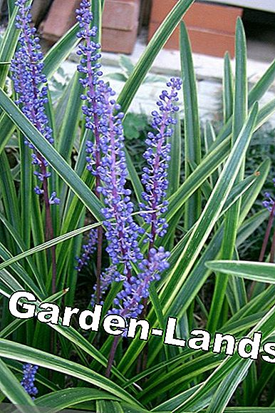 Plants Lily Grape Grape Lily Location And Care Of Liriope
