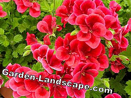 Pelargonium 'Clarion Bright Red'