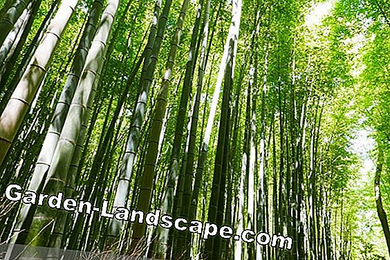 Giant bamboo in the garden - care of plants in Germany