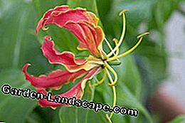 Gloriosa Fame Crown