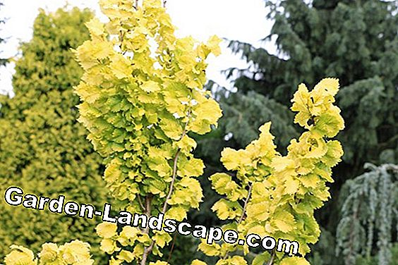 Golden elm - location, care and cut