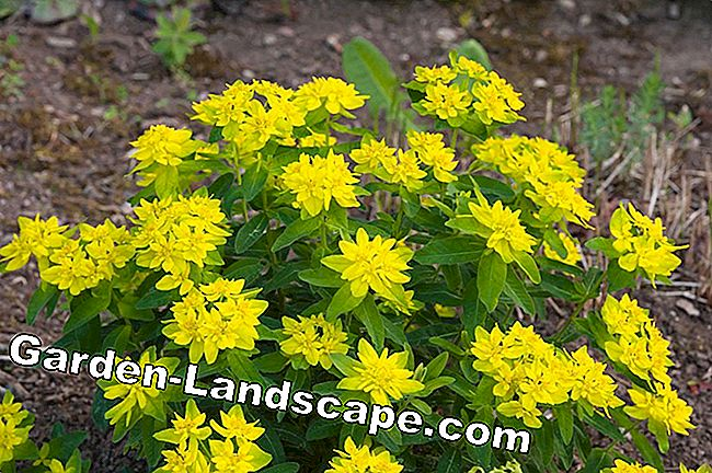 Golden yellow radiant spurge.