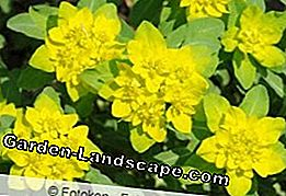 Gold Spurge, Euphorbia polychroma - planting and care