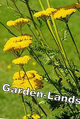 For perennial borders a hot tip: yellow yarrow