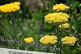 Gold sheaf is reminiscent of the yarrow because of its flower shape