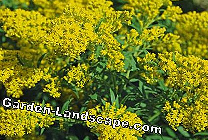 Goldenrod Cloth of Gold