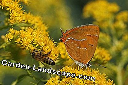 Insects on a goldenrod