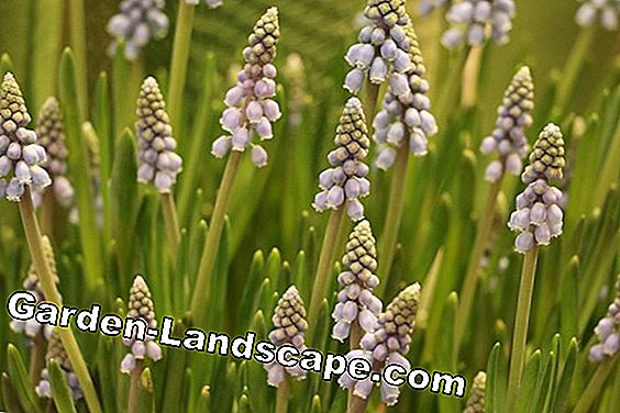 Grape Hyacinth - Planting and Care Instructions