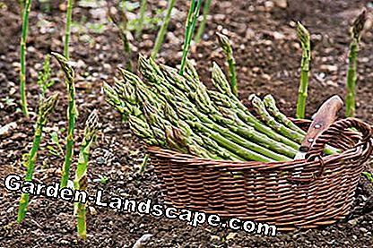 Harvest of green asparagus