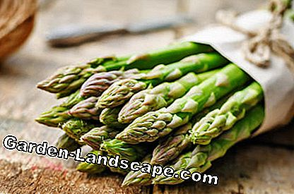 Young shoots of green asparagus