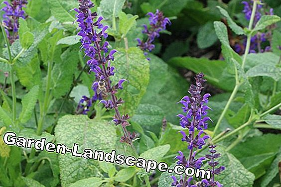 Grove sage, steppe sage, Salvia nemorosa - care and cut