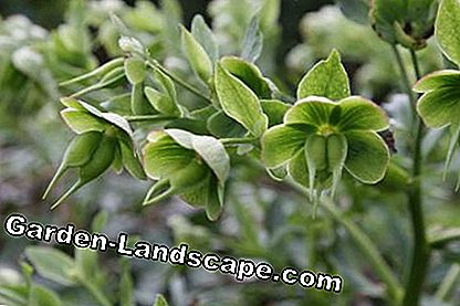 Seed Pods of Stinking hellebore