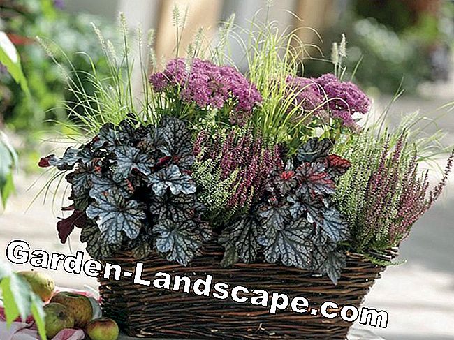 Purple Bells: Autumnal Plant Ideas for Pots: ideas