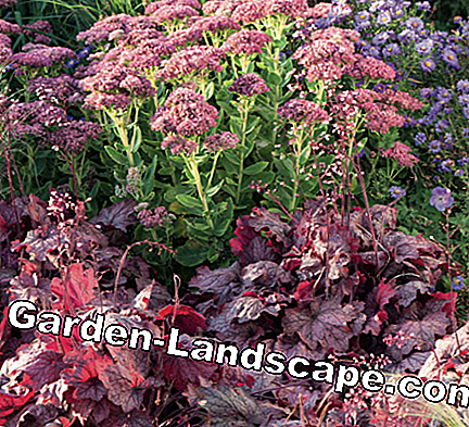 Purple bells, autumn aster and stonecrop