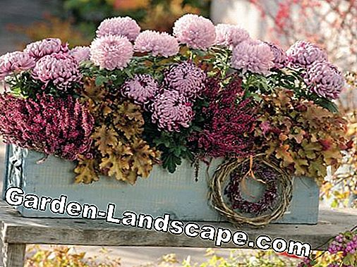 Chrysanthemums, Calluna and Heuchera