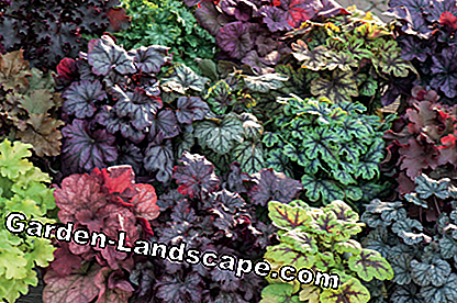 Heuchera and Heucherella