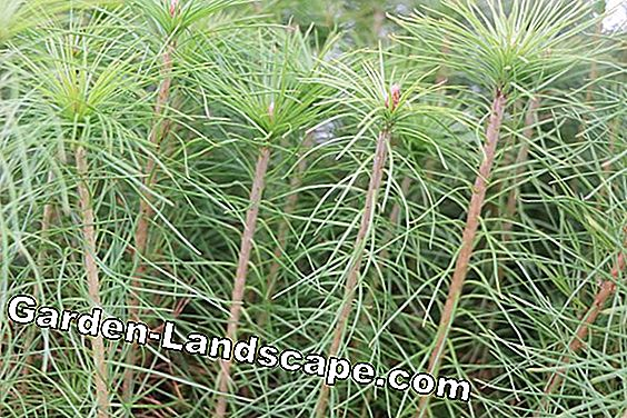 Pests on Pines - Fight Pine Pests: your