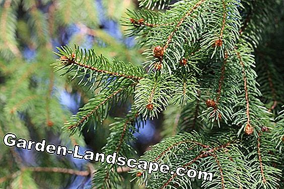 common spruce - Picea abies