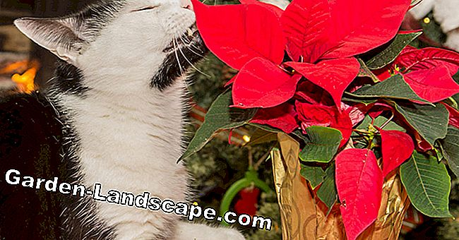 How poisonous are poinsettias really?