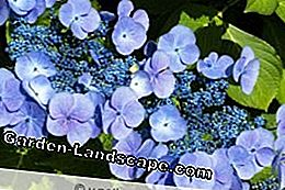 Hortensia de color azul