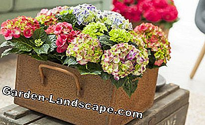 Room hydrangeas in metal container