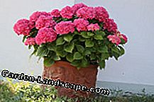 Hydrangea as a container plant