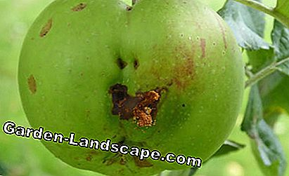 Damage caused by codling moth