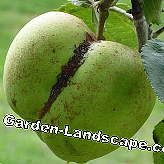 Cork stripes on the apple due to frost damage