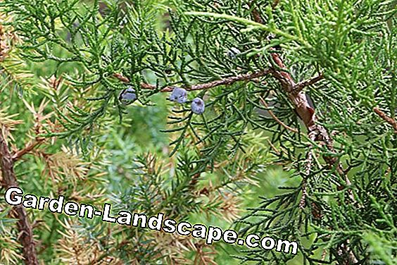 Cut juniper - as a hedge, bonsai and specimen plant