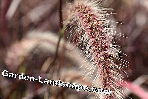 Lampentert grass - care in the garden and cutting