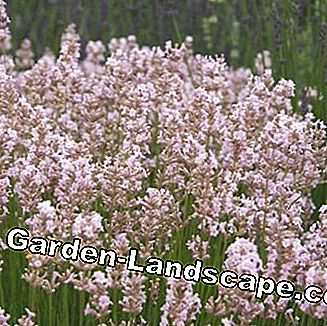 Downderry sort Lavandula angustifolia 'Rosea'