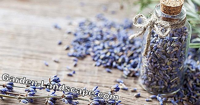 Dry lavender properly