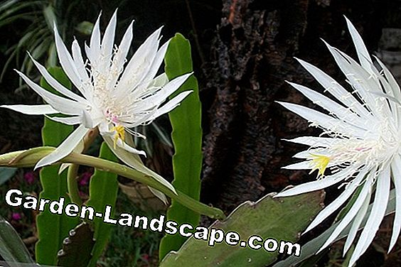Leaf cactus, Epiphyllum - care and wintering: plant