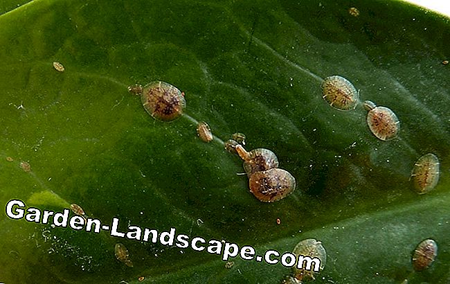 Scale insects lemon tree