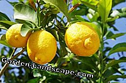 Lemon Tree Shields Spider mites