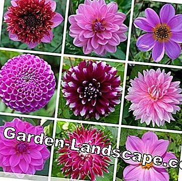Dahlia species purple