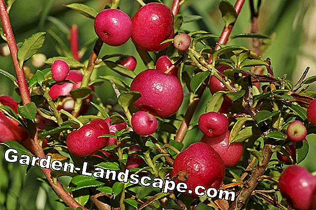 Low Cowberry - Evergreen bodembedekking voor de winter patch