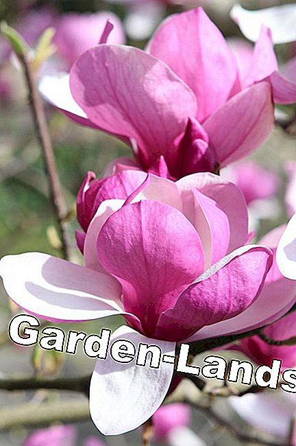 Magnolia in rood en wit