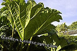 Plant mammoth leaf - tips for cultivation and care