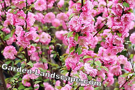 Almond tree, ornamental almond - everything to plants, care and wintering