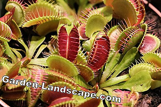 Venus flytrap: Basics for care, casting and feeding: casting