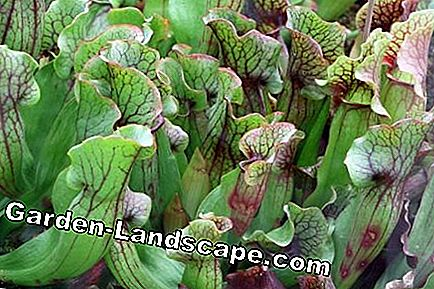 Carnivorous plants, carnivores: their