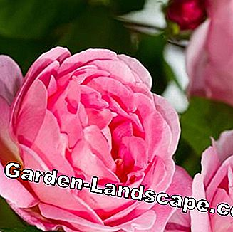Rose 'Constance Spry'