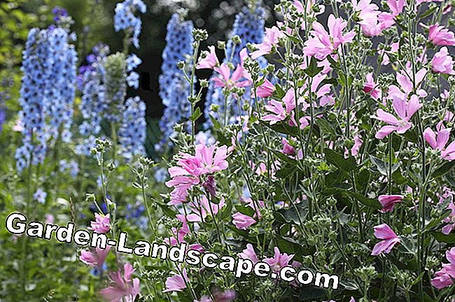Musk Mallow combined with blue larkspur