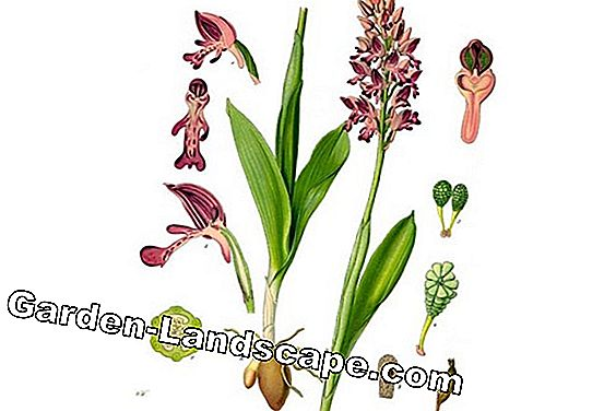 Orchis militaris - Helix orchid
