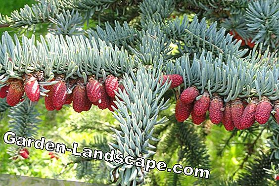 Noble fir, Abies procera, Nobilis fir - care instructions